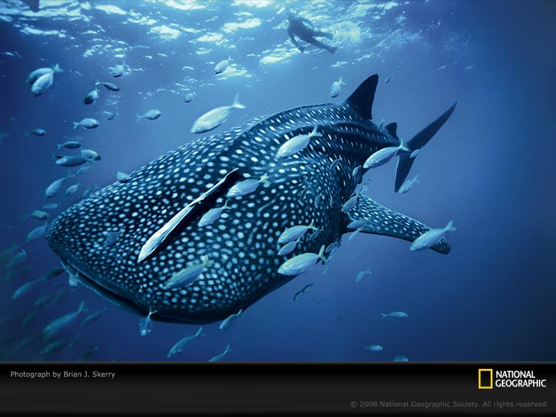 blue-whale-shark-skerry-wallpaper
